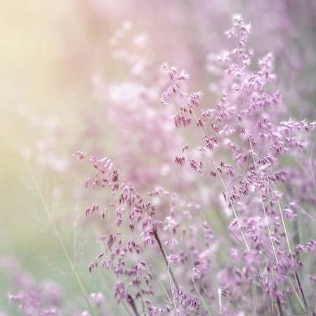 Background of beautiful lavender color flower field, fresh gentle purple wildflowers in sunny day, soft focus, summer time season Stock Photo