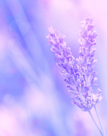 flowers bokeh: Closeup on beautiful gentle lavender flower on blurry purple background, soft focus, violet wildflower, summer time nature