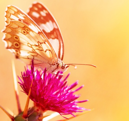 Closeup on beautiful butterfly on fresh pink flower isolated on orange background, gorgeous insect, spotted wings of monarch butterfly, wild nature photo