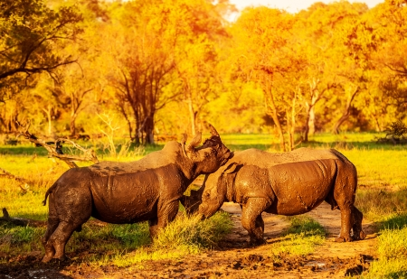 animal behavior: Two fighting rhinoceros in the African park, aggressive animals, big five, couple of playful rhino, nature of savanna, travel and tourism concept