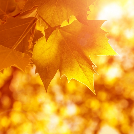 fall leaves border: Abstract autumn background, old orange maple leaves, dry tree foliage, soft focus, autumnal season, changing of nature, bright sunlight  Stock Photo