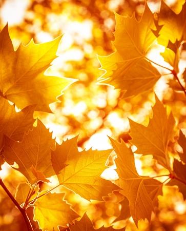 紅葉背景、紅葉の森、明るい暖かい太陽の光、乾燥のカエデの葉がオレンジ、秋の美しい木の枝を抽象化します。