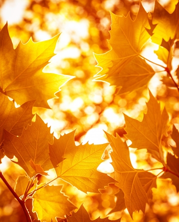 Abstrakt Laub Hintergrund, schön Ast im herbstlichen Wald, hellen, warmen Sonnenlicht, orange trockenen Ahornblätter, Herbst Standard-Bild - 22126416
