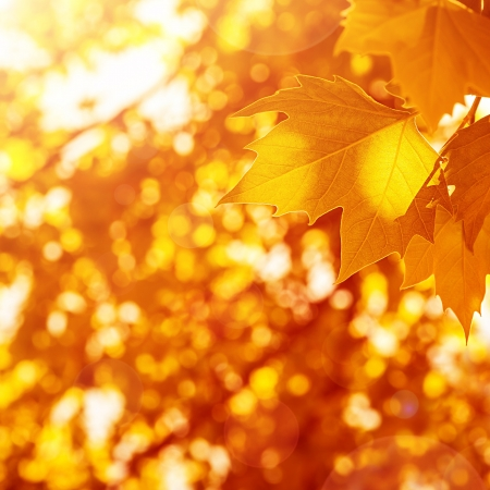 Autumnal leaves background, sunny day, old dry foliage in the park, weather changes, fall season, maple leaf, autumn nature photo