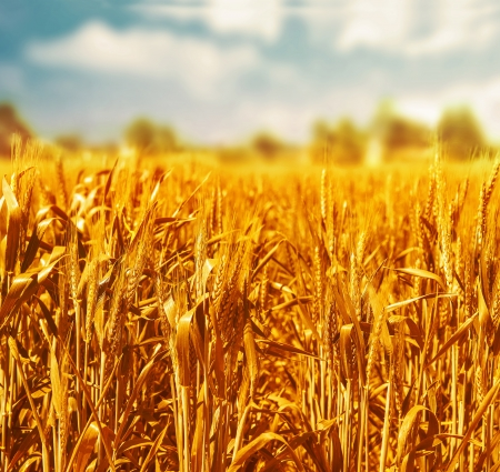 Beautiful wheat field over blue cloudy sky background, organic nutrition production, food industry, countryside landscape, harvest season concept photo