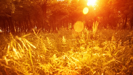 grassy field: Autumnal park, beautiful golden dry grass field in the forest in sunny day, warm yellow sunset light, fall season, autumn nature