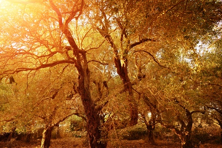 Garden of olive trees, natural background, produce of olive oil, countryside landscape, autumnal nature, harvest season, farming concept
