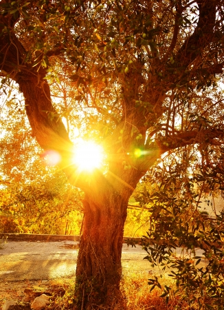 Vivid sun rays through autumnal foliage, olive tree in the garden, food industry, growth of vegetables, autumn nature, harvest season, gardening concept                                photo