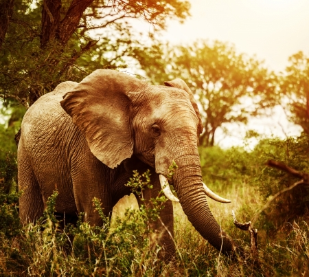 game drive: Huge elephant outdoors, big five, game drive, African nature, beautiful wild animal, national park, travel and tourism concept  Stock Photo