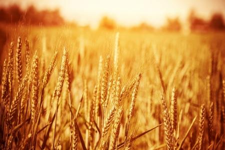 cultivo de trigo: Golden campo de trigo maduro, día soleado, foco suave, paisaje agrícola, el cultivo de plantas, cultivar cosechas, la naturaleza otoñal, el concepto de la temporada de cosecha