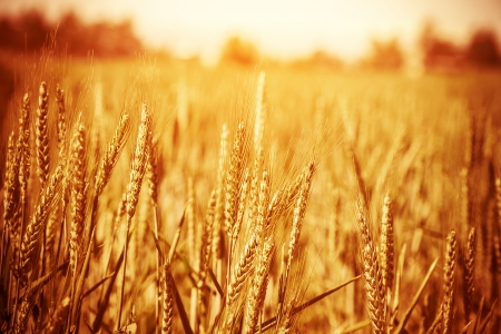 Golden ripe wheat field, sunny day, soft focus, agricultural landscape, growing plant, cultivate crop, autumnal nature, harvest season concept Imagens