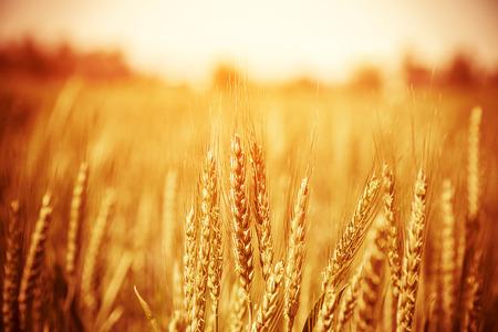 美しい黄色の麦畑、秋の自然、田舎、作物栽培、乾燥のライ麦の茎、収穫の季節、健康的な栄養の概念
