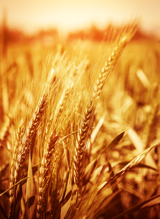 depth of field: Yellow wheat field background, warn sunset light, soft focus, autumnal nature, bread production, farmland, dry rye stems, harvesting concept