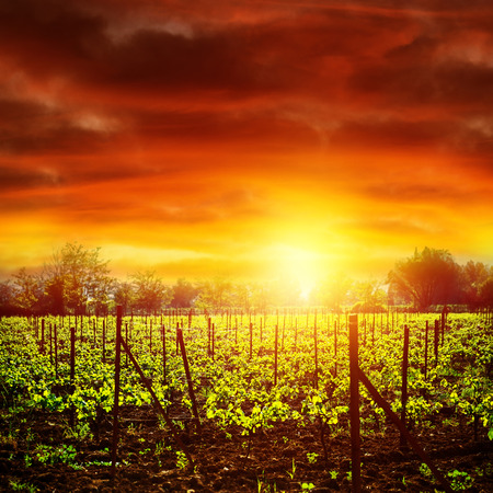 Vineyard in bright yellow sunset light, dramatic skyscape, autumnal nature, agricultural industry, grape produce, viticulture concept photo