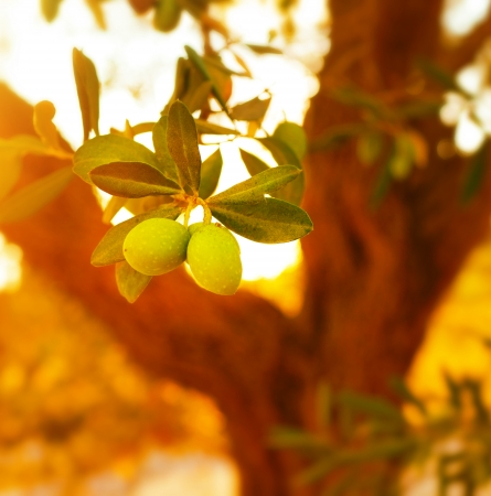 olive farm:  Closeup on olive tree branch, fresh ripe fruits, healthy nutrition, organic food, warm sunset light, soft focus, autumn harvest season                               Stock Photo