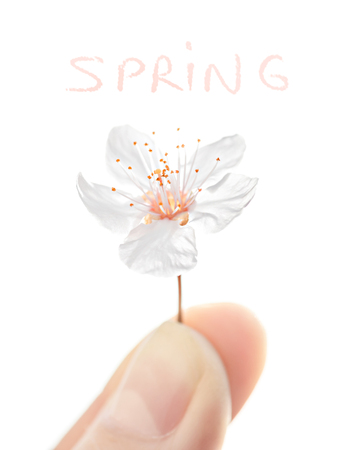Human finger holding one little cherry flower, isolated on white background, first spring blossom, protect nature concept photo