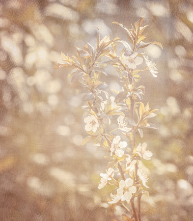 Spring blooming background, fresh gentle white cherry flowers, retro style photo, image with grunge effect, springtime nature photo