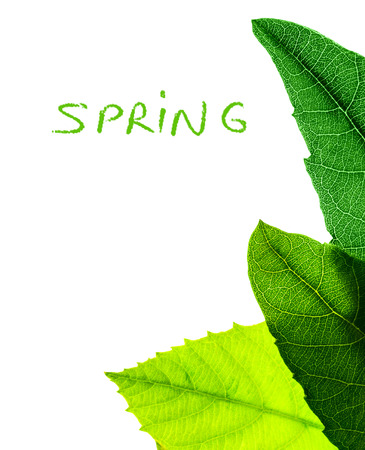 greenness: Abstract natural border, fresh green leaves isolated on white background, copy space with text, spring season concept