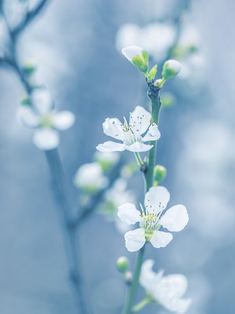 shallow focus: Blooming tree at spring, fresh white flowers on the branch of fruit tree, plant blossom abstract blue background, seasonal nature beauty, dreamy soft focus photo Stock Photo
