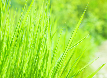 Fresh green grass background, abstract natural backdrop, beauty of nature, sunny day, spring season, freshness of environment