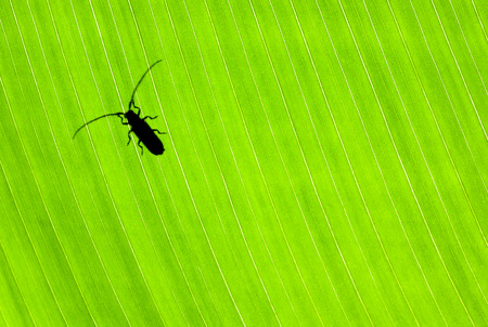 Little black beetle sitting on fresh green leaf, wild nature of Costa Rica, small insect isolated on floral background, wildlife concept  photo