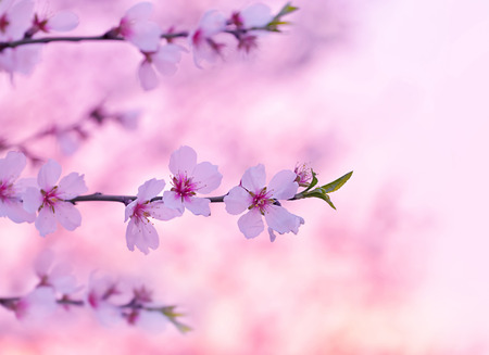 Cherry tree blossom, beautiful pink floral background, blooming nature, spring season, gentle flowers in Japanese fruits garden photo
