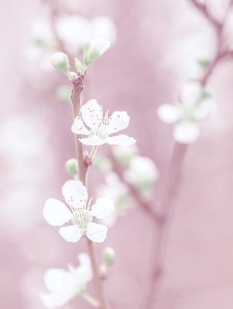 桜の花、美しいピンクの花の背景、木の枝、夢のような写真、美術、穏やかな小さい白い花春性質の概念 写真素材