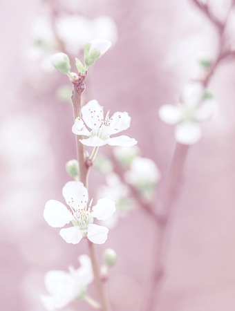 Cherry tree blossom, beautiful pink floral background, gentle little white flowers on tree twig, dreamy photo, fine art, spring nature concept Фото со стока - 27086759