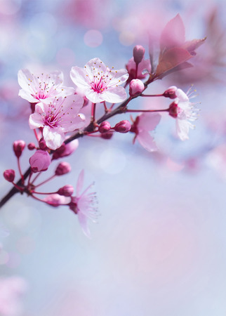 Springtime blooming tree background, gentle fresh cherry tree blossom, beautiful Japanese garden, beauty and tenderness of nature concept photo