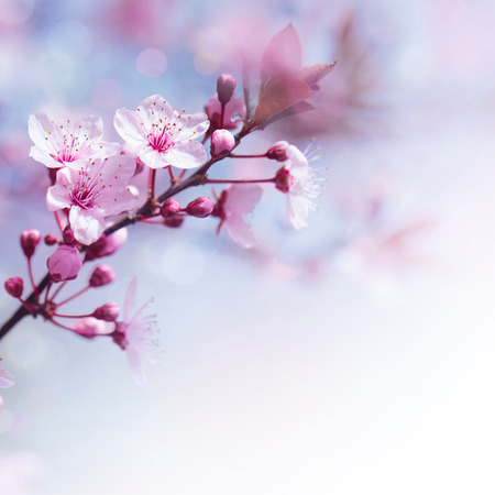 Beautiful tender cheery tree flowers border, blooming nature, first blossom, sunny day, natural border, spring time concept photo