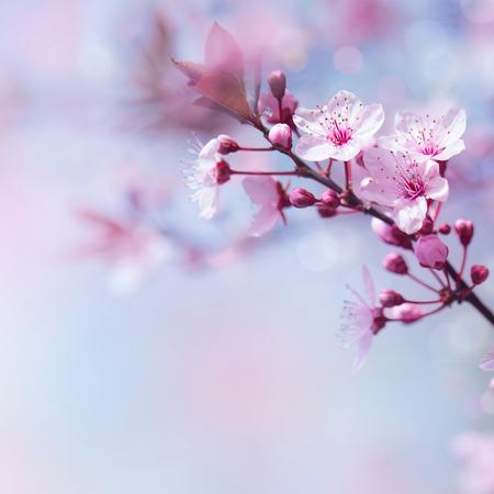 青のソフト フォーカスの背景、柔らかい春自然、日本の庭の花に美しい桜咲く国境 写真素材
