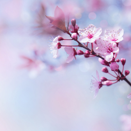 flowers bokeh: Beautiful cherry tree blooming border on blue soft focus background, tender springtime nature, blossom in japanese garden Stock Photo