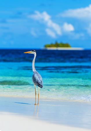 Graureiher, die am Strand auf den Malediven Insel, mit Blick auf das Meer, schöne wilde Vogel, exotische Natur, Sommer-Tourismus-Konzept