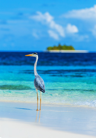 Grey heron standing on the beach on Maldives island, looking on the ocean, beautiful wild bird, exotic nature, summer tourism concept photo