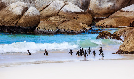 penguins on beach: Wild South African penguins, colony of Black-footed Penguins walking on Boulders beach in Simons Town, beauty of wildlife
