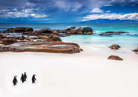 jackass: Wild South African penguins, little group of Jackass Penguins walking along Boulders beach in Simons Town, travel and tourism concept