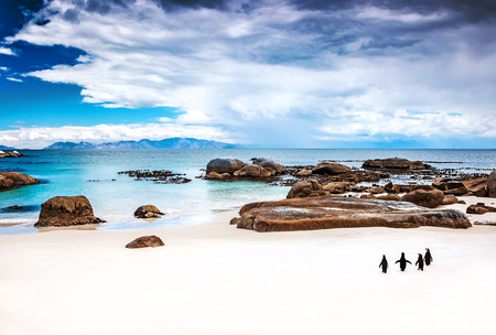 penguin: Wild South African penguins, colony of Black-footed Penguins walking on Boulders beach in Simons Town, beauty of wildlife