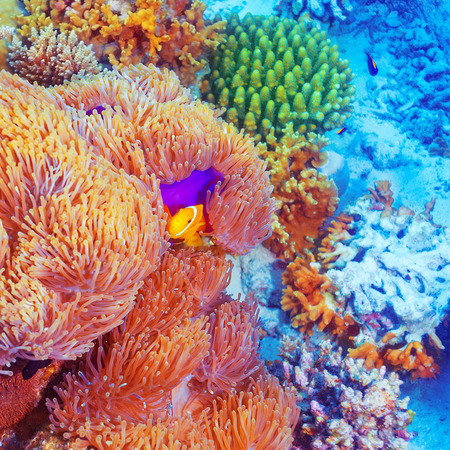 Clown fish swimming near colorful corals, abstract natural background, beautiful wildlife, wonderful nature of Indian ocean photo