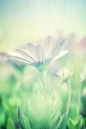logo couleur: Domaine doux de marguerite, soft focus, art, photo avec l'effet de flou, de belles fleurs blanches, �conomiseur d'�cran floral, beaut� de concept de nature Banque d'images