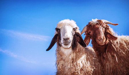 Closeup portrait of two cute funny young sheep on blue sky background, domestic animals on the farm, farming concept
