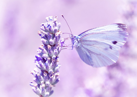 Gentle butterfly with light purple wings sitting on lavender flower, detail of flora and fauna, amazing wild nature concept 스톡 콘텐츠