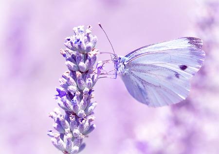 Mariposa suave con alas de color púrpura claro sentado en flor de lavanda, detalle de la flora y la fauna, increíble concepto de naturaleza salvaje Foto de archivo - 31560773