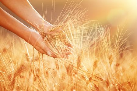 Enjoying golden wheat field, womans hands touching ripe grain stem in beautiful sunset light, autumnal harvest season  photo