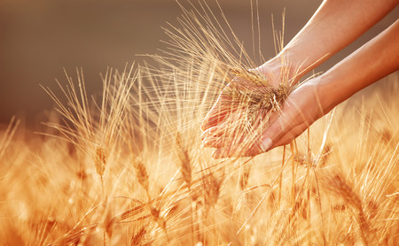 crop harvest: Woman hands touching golden wheat field, happy farmer enjoying great harvest, agricultural industry, autumn season concept