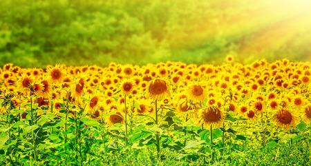 Beautiful sunflowers field in bright yellow sun light, amazing panoramic landscape, great fresh flowers growing on European plantation photo
