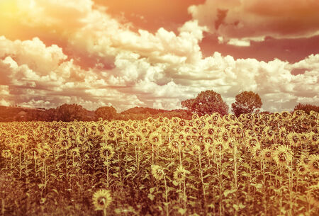 Grunge style photo of beautiful sunflowers field in sunset light, agricultural landscape, big yellow flowers, beauty of autumn nature photo