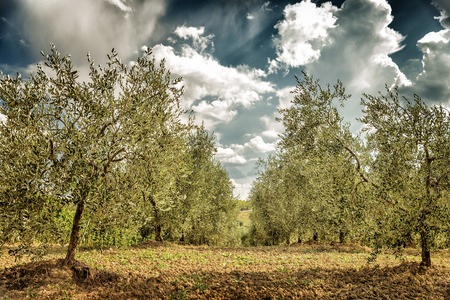 Beautiful fresh olives garden, agricultural landscape, cultivation vegetables, olive oil production, autumn harvest season, gardening concept photo