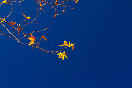 Maple twigs with dry yellow leaves on clear blue sky background, autumn season, good sunny day, change of nature concept photo