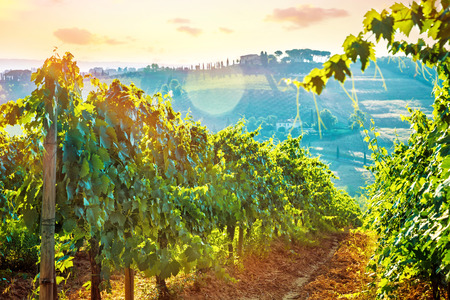 Beautiful grape field valley in mild sunset light, Italian wine production, agricultural landscape, beauty of autumn nature at harvest season