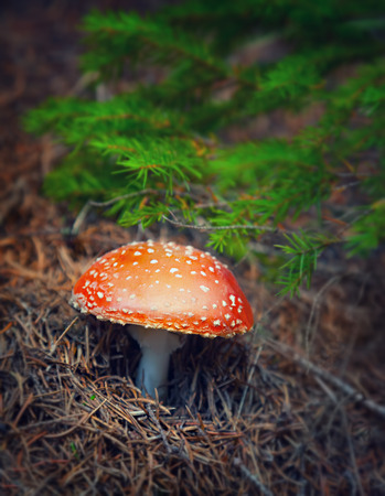 inedible: Amanita mushroom in autumn forest, beautiful little toxic fungus with red hat and white spot on it, dangerous and inedible toadstool